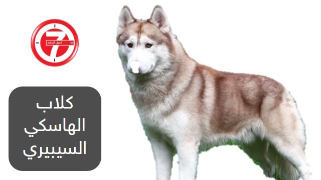 1- كلاب الهاسكي السيبيري