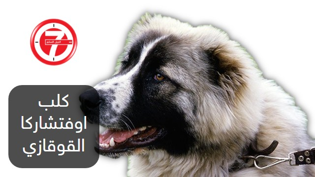 10- كلب اوفتشاركا القوقازي
