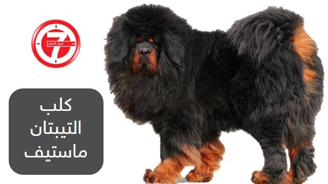 2- كلب التيبتان ماستيف (نوع قديم من سلالات الكلاب)