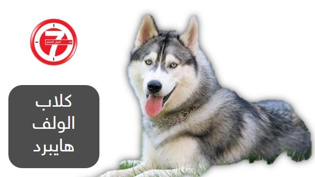 4- كلاب الولف هايبرد