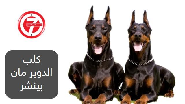 5- كلب الدوبر مان بينشر