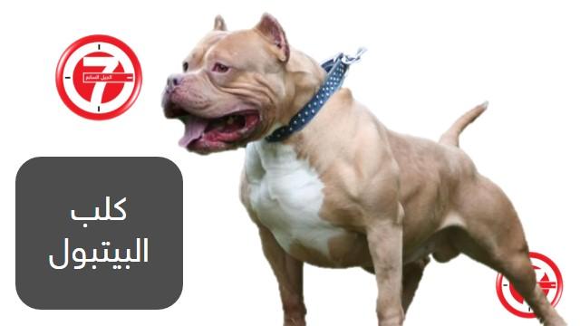 7- كلب البيتبول