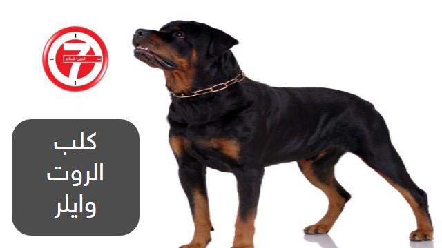 8- كلب الروت وايلر