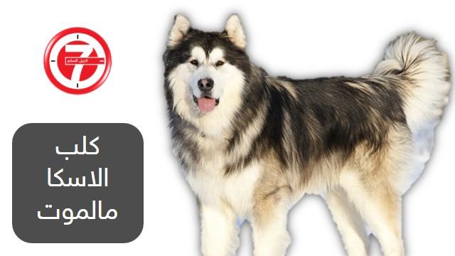 9- كلب الاسكا مالموت